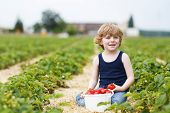 stock photo of strawberry blonde  - Happy caucasian little boy picking and eating strawberries on berry farm in summer - JPG