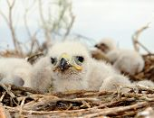 stock photo of small-hawk  - Long legged Buzzard young chick in the nest - JPG