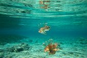 picture of lion-fish  - Lion fish swimming under water - JPG