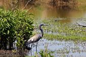 pic of bayou  - Tricolored Heron aka Louisiana Heron in the bayou - JPG