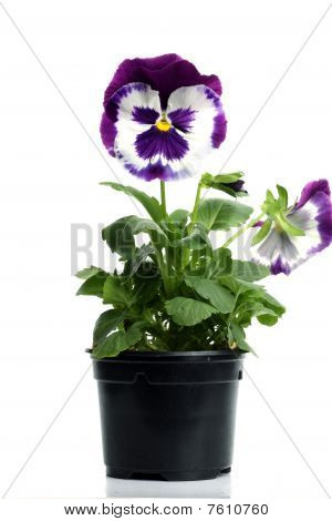 Plastic Pots With Blue Purple Pansy Isolated Over White