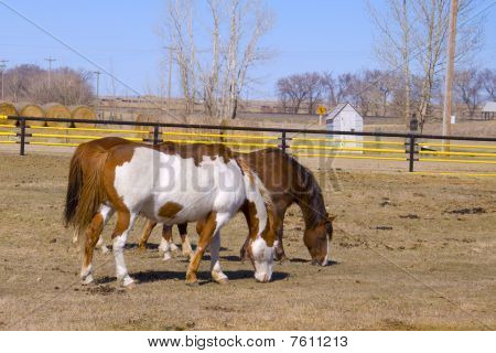 Two Horses Grazing on the Farm