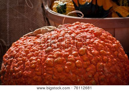 Bumpy, Orange Pumpkin