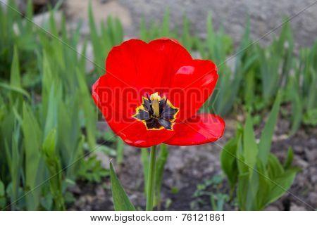Red Tulpan