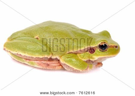 Closeup Green Tree Frog Isolated On White Background
