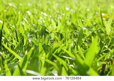 Fresh Lawn In The Morning