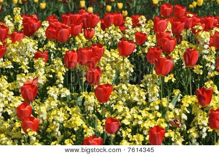 Red Tulips Display In St James Park London