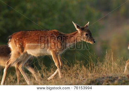 Deer Calf Walking On A Glade