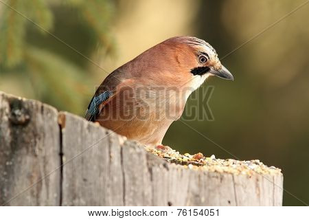 European Jay Standing On Stump