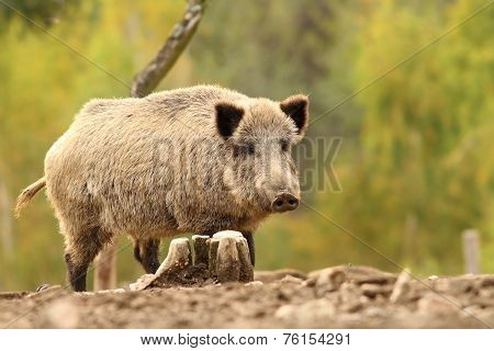 Wild Hog Near Stump