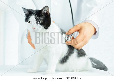 Doctor Vet Listening A Cat With Stethoscope