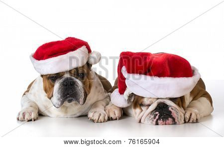 christmas dogs - two english bulldogs wearing santa hats on white background