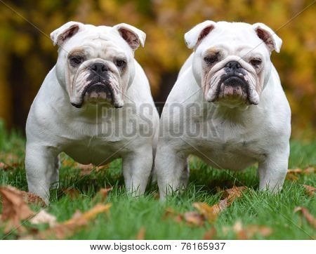 two english bulldogs standing in the grass looking at viewer