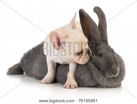 french bulldog puppy climbing on flemish bunny on white background