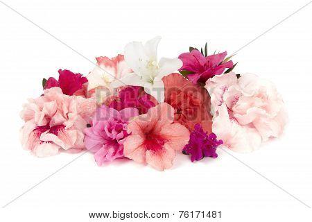 Variety of pink Azaleas