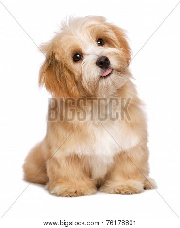Beautiful Sitting Reddish Havanese Puppy Dog Is Looking Upward