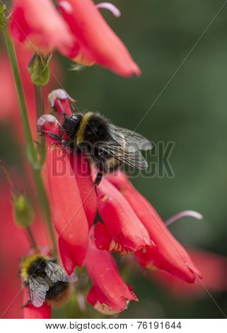 Bumble Bee on Penstemon