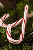 picture of peppermint  - Festive Red and White Peppermint Candy Canes  - JPG