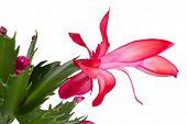 foto of schlumbergera  - Christmas Cactus schlumbergera isolated on white background - JPG