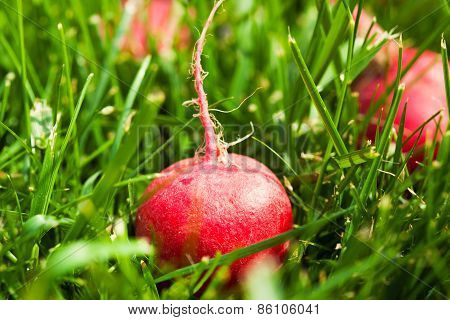 Fresh Small Radish Laying On Green Grass