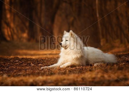 Samoyed dog on the background of orange forest
