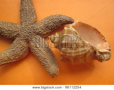 Starfish and seasheall