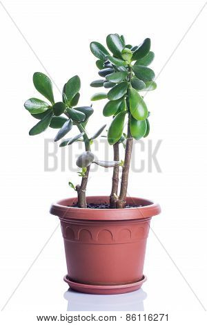 Crassula In Brown Pot Isolated On White Background