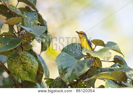 A Female Of Scarlet Minivet Perching On A Branch