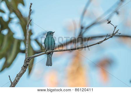 Verditer Flycatcher Perching On A Branch
