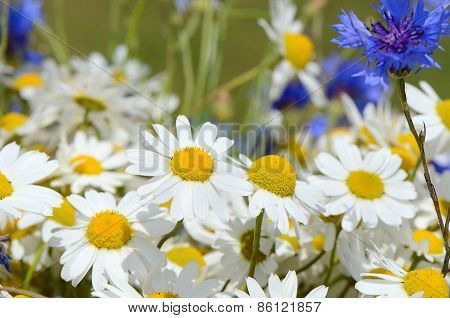 Summer Field With Daisies