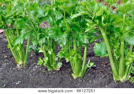 Close-up Of Celery Plantation