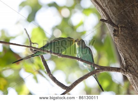 Budgerigars are kissed on branch the small depth of sharpness