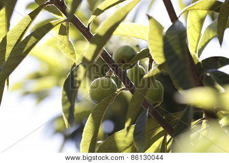 Medlar(eriobotrya Japonica)/fruit