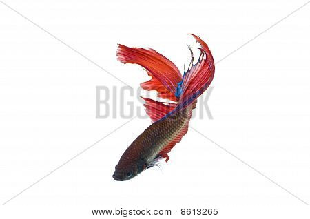 The red-blue Betta fish