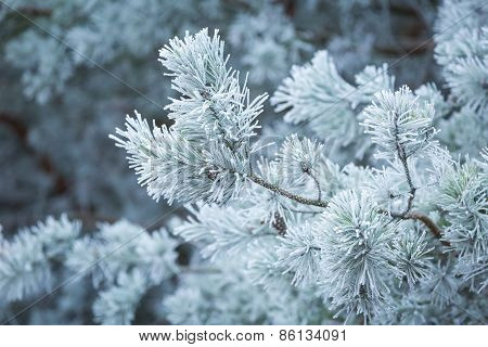 Frosted Tree Branches