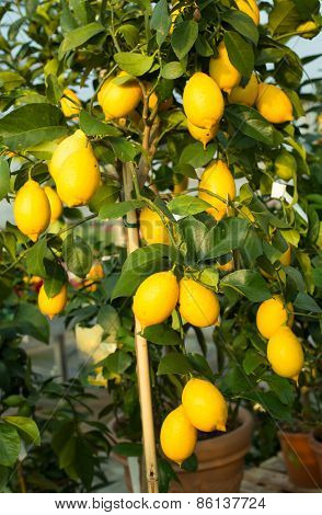 Yellow Lemons In The Tree With Green Leaves