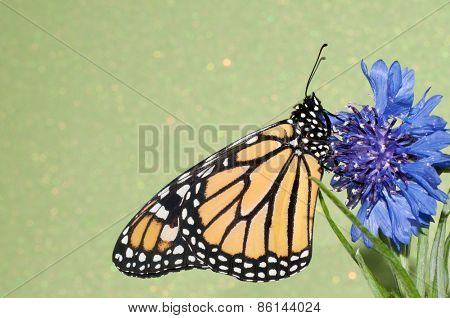 Monarch butterfly resting on a blue Cornflower against green background