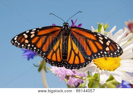 Colorful orange and black Monarch butterfly on summer flowers against clear blue sky