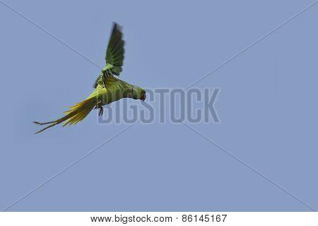 Rose-ringed Parakeet. In Bardia, Nepal