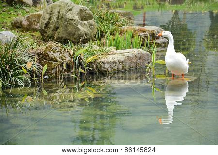 White goose In The Pond