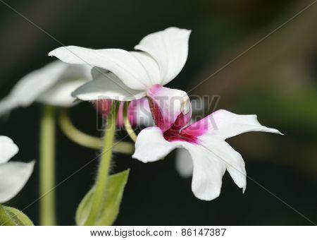 Calanthe 'baron Schroder' Orchid