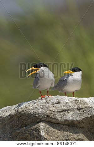 River Terns