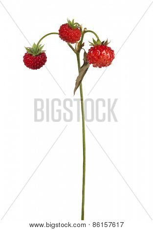 wild strawberries on stem isolated on white background