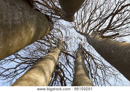Bare Trees Directly From Below.