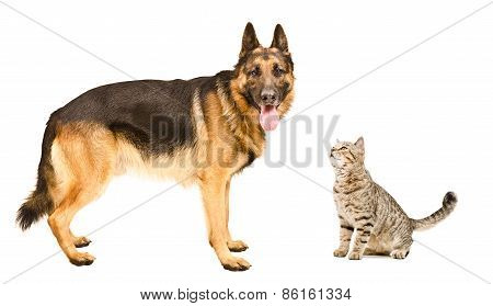 German Shepherd  and cat Scottish Straight