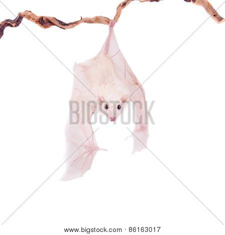 Egyptian Fruit Bat Isolated On White
