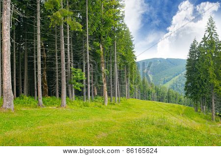 Pine Wood On The Hillside