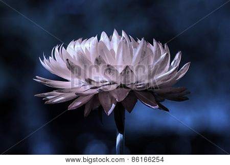 Strawflower At Night