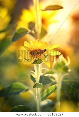 Honeybee on the sunflower