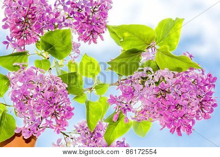 Flowering Branch Of Lilac In A Jar Close-up